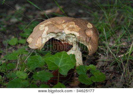 Slugs Eating A Cep Mushroom