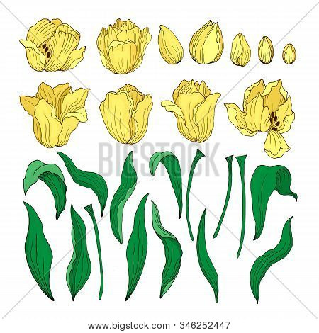Set Of Tulip Flowers. Collection Of Yellow Tulips, Side View Of Open Flower Buds Leaves Stems Isolat