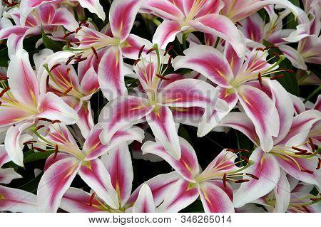 Lilium Calvados Flowers In A Garden Flowerbed