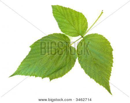 Raspberry Leaf