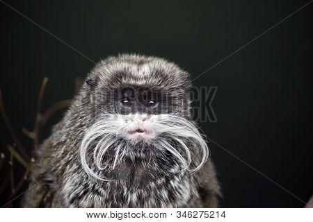 The Emperor Tamarin Is A Small Primate That Lives In The Amazon