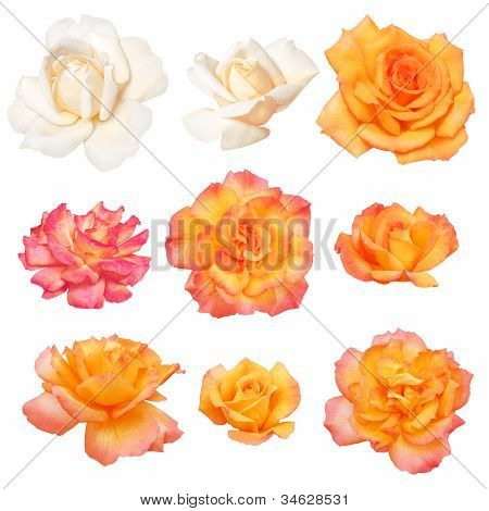 Collection of roses isolated on white background. Vector path!