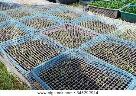 Young Sunflower Sprout Seedling In Basket With Plastic Net For Bird Or Insect Protection