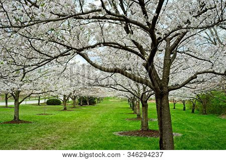 Cherry Trees Covered In White Blossoms At Springtime In A Cleveland Ohio Park