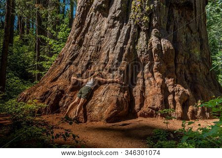 Middle Aged Woman Embracing The Base Of The Trunk Of A Giant Tree, Sequoiadendron Giganteum, At Cala