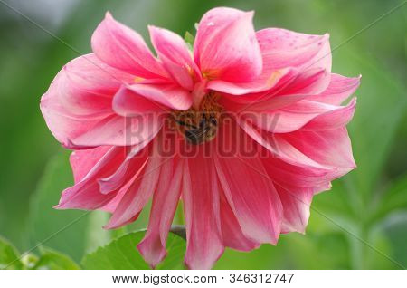 Bumble Bee On A Pink Dahlia Bottom. Big Pink Flower Close Up. Picture For Greeting Card Design, 8 Ma