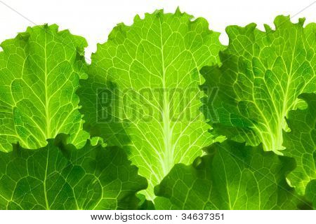 Fresh Lettuce /  leaes isolated on white background / close-up poster