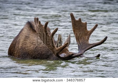 Wild Moose Living In The Forests Of The Colorado Rocky Mountains. Moose With Head Submerged Eating L