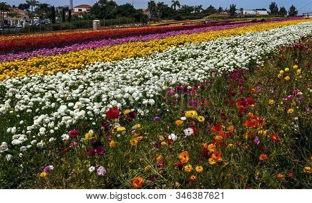 Rows Of Colorful Flowers Grow On A Hillside In Carlsbad, California,america.