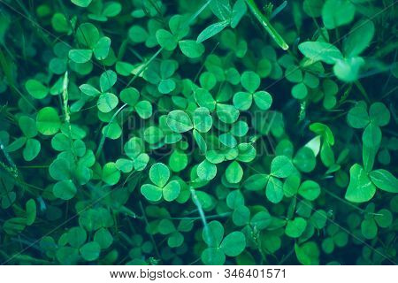 Close Up Of Natural Shamrock Field. Rural Nature View. Spring Holiday Floral Backdrop. Green Garden