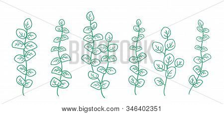 Botanical Hand Drawn Set Of Green Eucalyptus Branches With Leaves, Mint Sprig Silhouettes