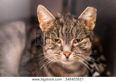 Portrait Of A Domestic Shorthair Cat With The Ear Cropped And Positive To Feline Coronavirus Infecti