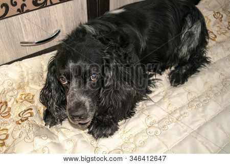 Beautiful Black Spaniel Dog With Blue Eyes Is Laying On A Light Beige Blanket. Russian Spaniel Portr