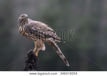 Beautiful Juvenile Northern Goshawk Juvenile (accipiter Gentilis) On A Branch In The Forest Of Noord