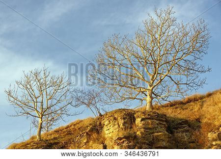 Late Sun On European Ash Trees In Winter - Fraxinus Excelsior