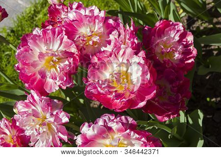 Tulipa Of The Double Sugar Species On A Flowerbed.
