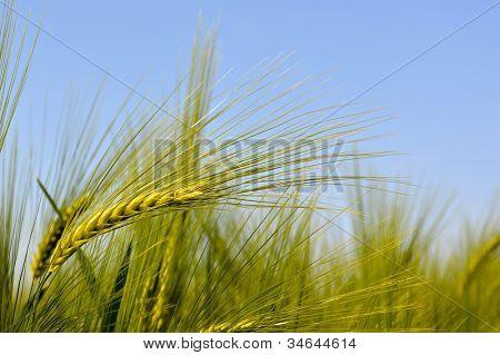 Wheat fields in early summer
