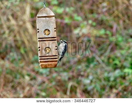 Downy Woodpecker Feeding On A Suet From Feeder