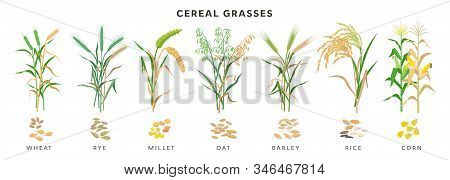 Cereal Grasses Big Collection Of Plants And Seeds, Botanical Drawings In Flat Design Isolated On Whi