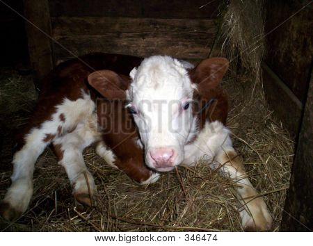 Baby Calf Cow