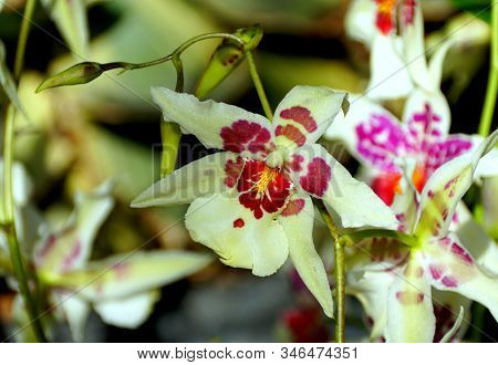 Beautiful White And Red Schunkeara Big Shot 'hilo Sparkle' Orchid Flower