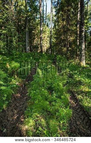 Deep Traces Of Car Tires In The Forest, Among The Trees. Damage To The Grass Due To Transport. Barba