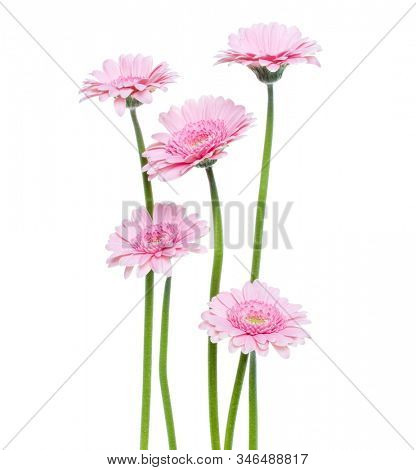 Vertical pink gerbera flowers with long stem isolated on white background. Spring bouquet.