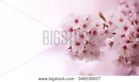 Spring Cherry blossoms in full bloom fading in to white background. Japanese Yoshino cherry trees.