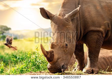 Close Up Head Shot Of Huge African White Rhino In Grassland. Sunset And Ox Pecker Bird In Background