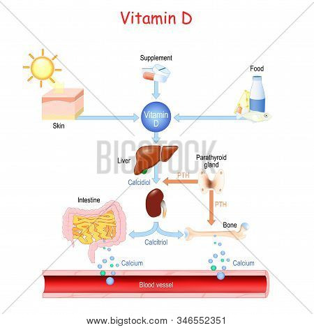 Vitamin D. Sources, Metabolism And Organs That Regulate The Level Of Calcium In The Blood (bone, Kid