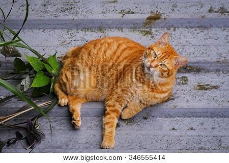 Cat Lying  On The Floor / Ginger Cat Beautiful