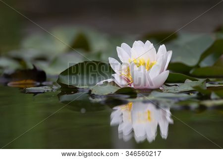 White Lotus Waterlily Lily Flower In A Pond