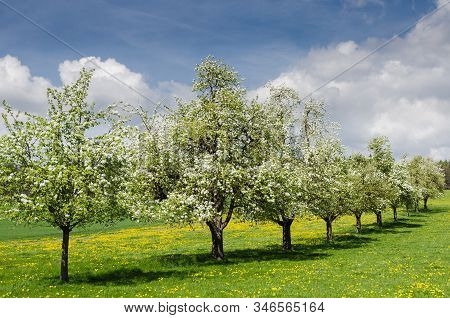 Blooming Apple Trees On A Meadow In Swiss Canton Thurgau, Switzerland