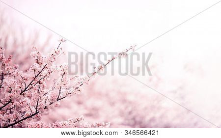 Spring cherry blossom fading in to beautiful pastel pink and white background. Shallow depth of field. Wide header dimension.