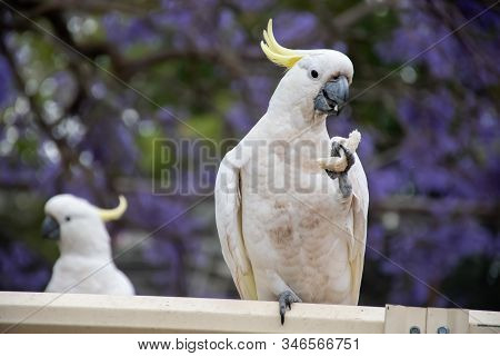 Sulphur-crested Cockatoo Sitting On A Fence Holding Piece Of Bread With Beautiful Blooming Jacaranda