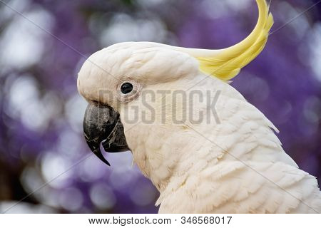 Sulphur-crested Cockatoo Close Up With Beautiful Blooming Jacaranda Tree On Background.