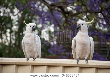 Sulphur-crested Cockatoos Sitting On A Fence With Beautiful Blooming Jacaranda Tree On Background. U