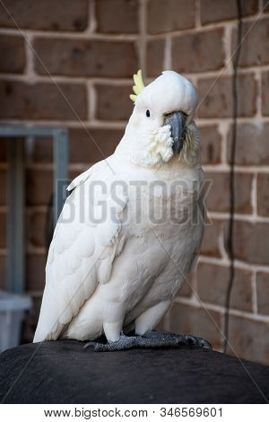 Sulphur-crested Cockatoo Sitting Near The Brick Wall