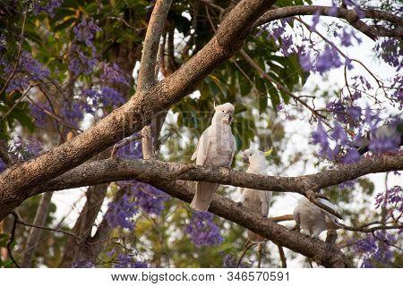 Sulphur-crested Cockatoos Sitting On A Beautiful Blooming Jacaranda Tree.