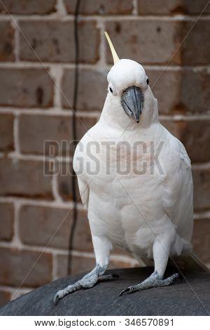 Sulphur-crested Cockatoo Sitting Near The Brick Wall