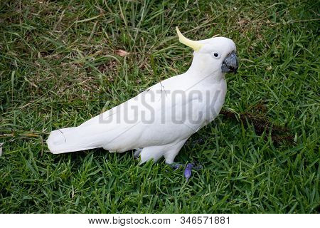 Sulphur-crested Cockatoo Walking On The Green Grass Lawn