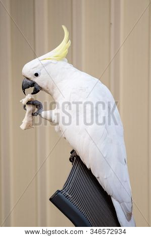 Curious Sulphur-crested Cockatoo Sitting On The Outdoor Chair And Eating A Piece Of Bread