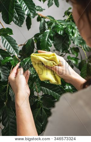 Home Gardening: A Girl Wipes The Large Green Leaves Of A Home Plant From Dust.