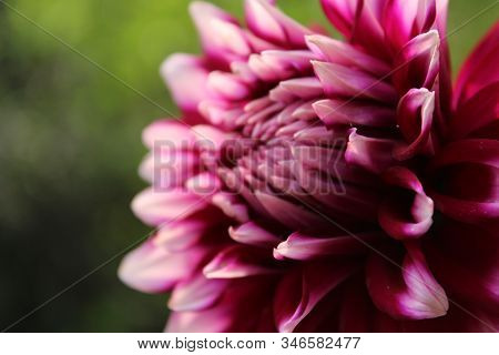 Beautiful Pink Blooming Dahlia With Green Background. Pink Dahlia Is Genus Of Flowering Pink Dahlia