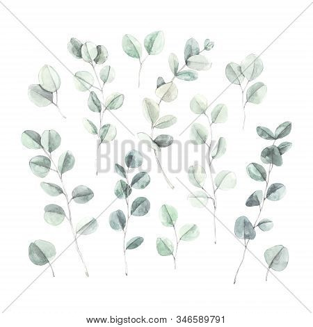 Watercolor Botanical Illustration. Branches And Leaves Of Green Eucalyptus. Botanical Design Element
