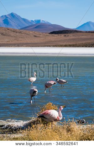 Flamingos farage on the salty lake in Bolivia