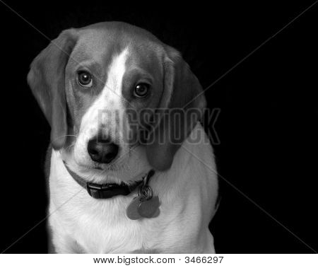Chip The Beagle Puppy, Isolated On Black Background