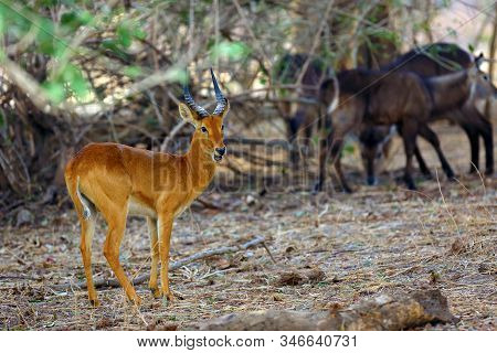 The Puku (kobus Vardonii Senganus) Male Standing In The Forest And In The Background The Waterbuck A