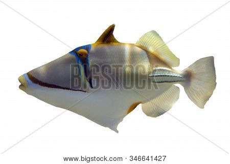 Tropical Coral Fish Picasso Triggerfish (rhinecanthus Aculeatus) Isolated On White Background