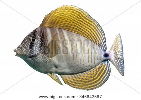 Tropical Coral Fish Sailfin Tang Isolated On White Background